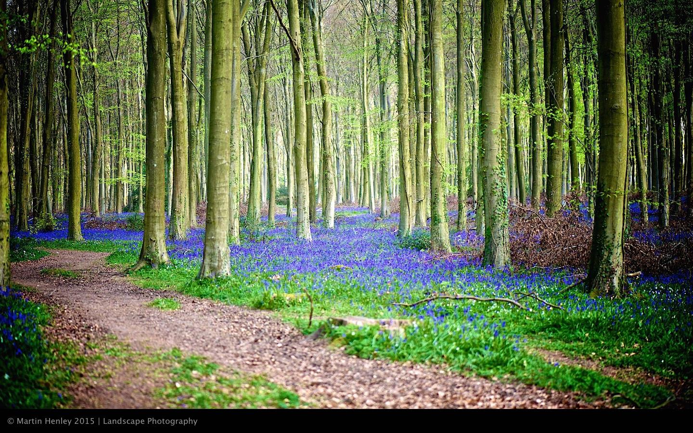 Sussex Bluebells, April 2014 1