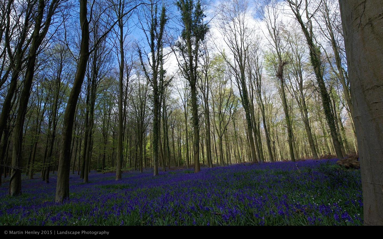Sussex Bluebells, April 2014 10