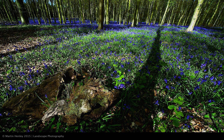 Sussex Bluebells, April 2014 11