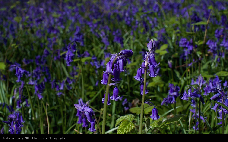 Sussex Bluebells, April 2014 12