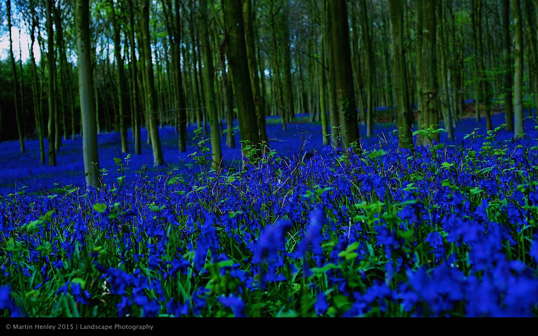 Sussex Bluebells, April 2014 13