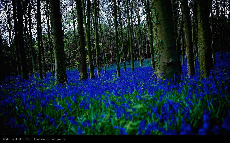 Sussex Bluebells, April 2014 14