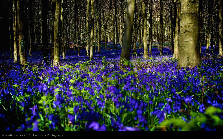 Sussex Bluebells, April 2014 16