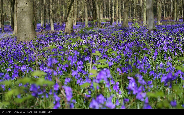 Sussex Bluebells, April 2014 17