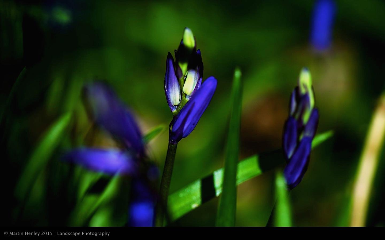 Sussex Bluebells, April 2014 19