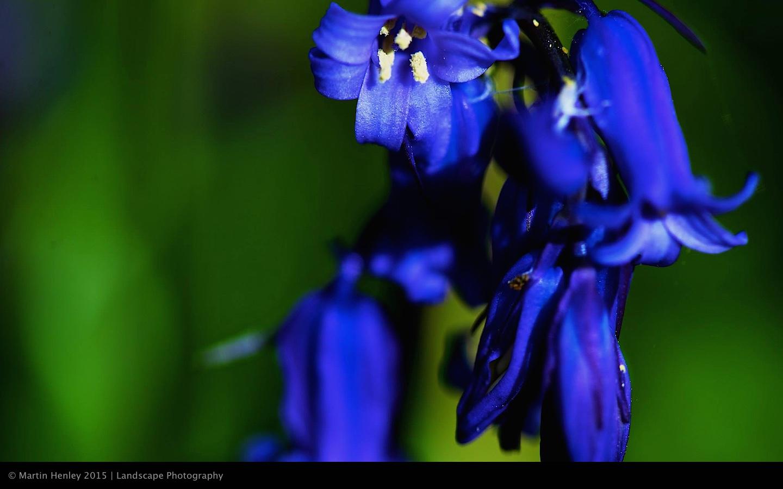 Sussex Bluebells, April 2014 20