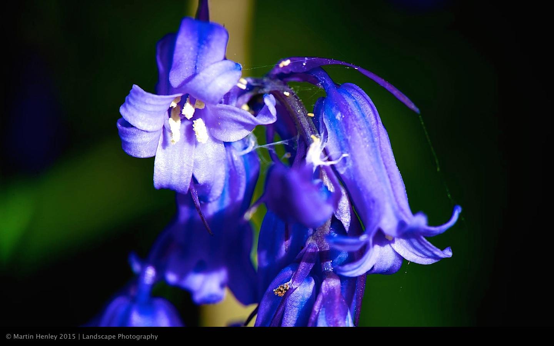 Sussex Bluebells, April 2014 21