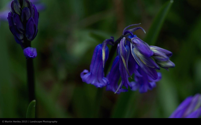 Sussex Bluebells, April 2014 23