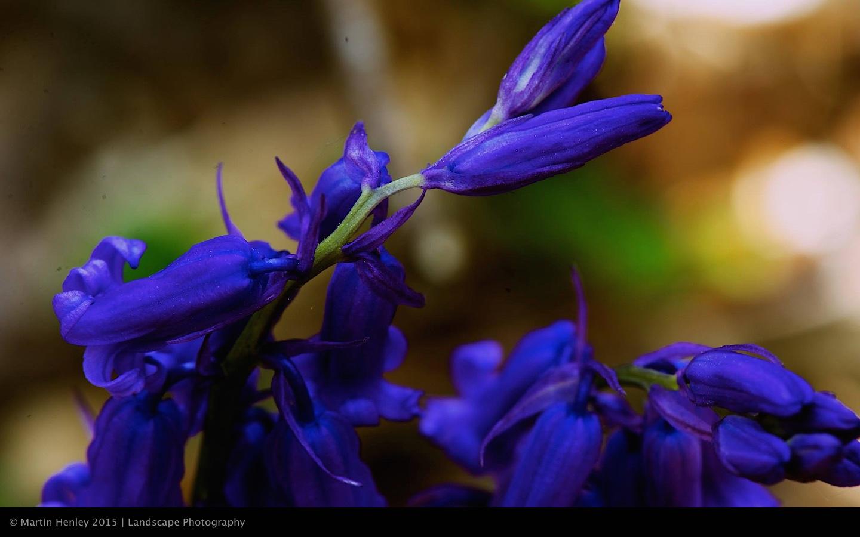 Sussex Bluebells, April 2014 25