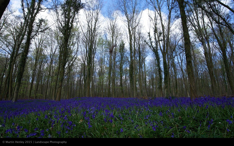 Sussex Bluebells, April 2014 3