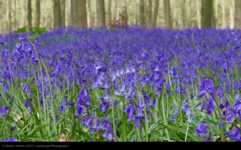Sussex Bluebells, April 2014 4