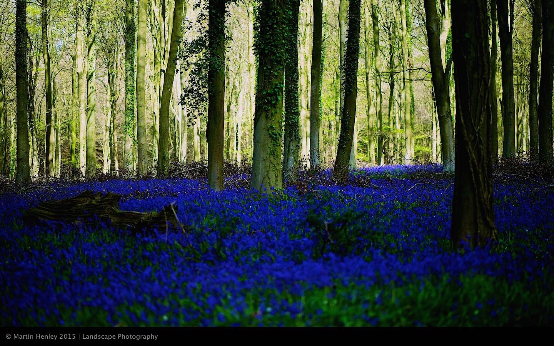 Sussex Bluebells, April 2014 5