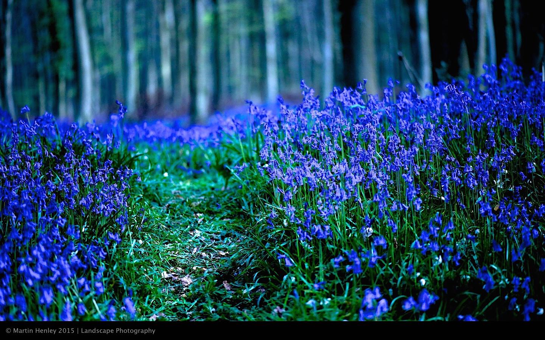 Sussex Bluebells, April 2014 7