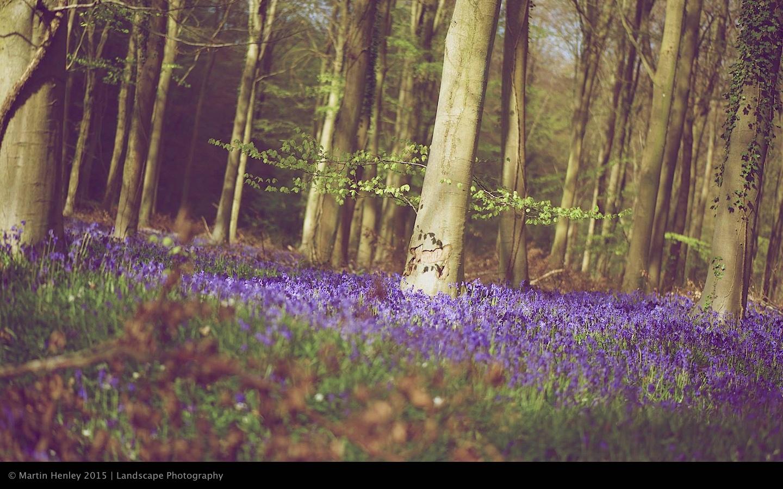 Sussex Bluebells, April 2014 8